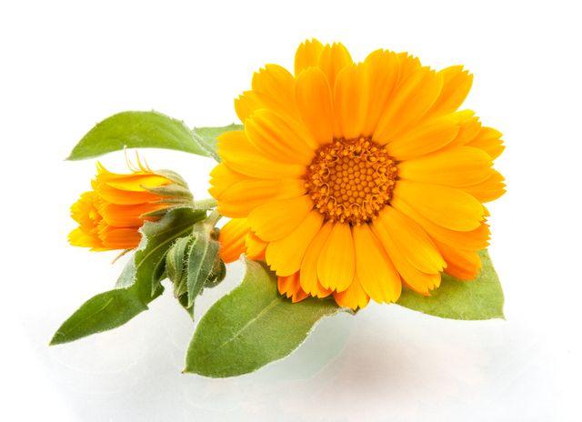 Měsíček lékařský, Zdroj: Shutterstock.com