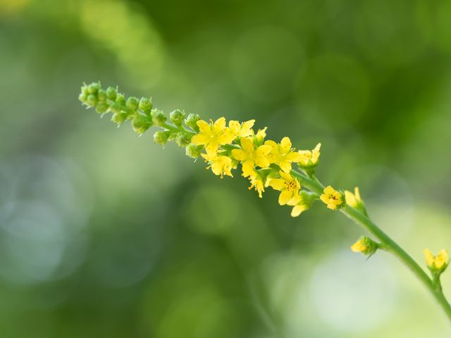 Řepík, Zdroj: Shutterstock.com