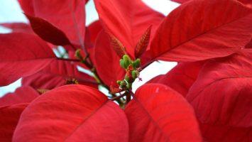poinsettia jak se starat o vánoční hvězdu