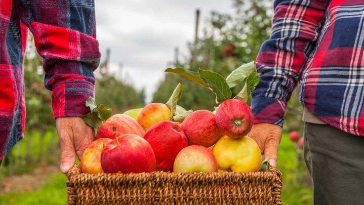Jak skladovat jablka přes zimu