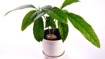 Jak vypěstovat avokádo z pecky
