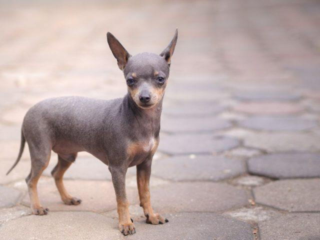 civava, malá psí plemena
