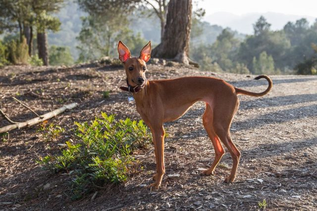 italský chrtík, malá psí plemena