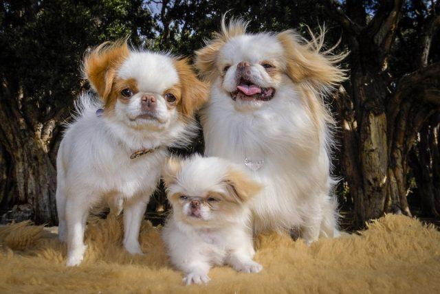 japonský chin, malá psí plemena