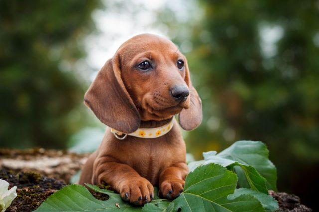 jezevčík, malá psí plemena
