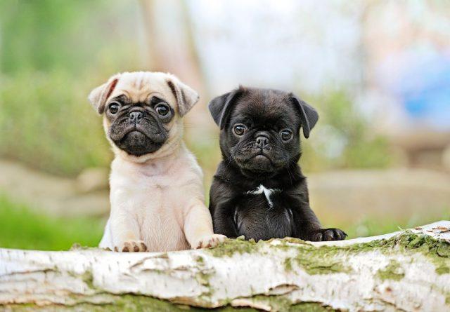 mops, malá psí plemena