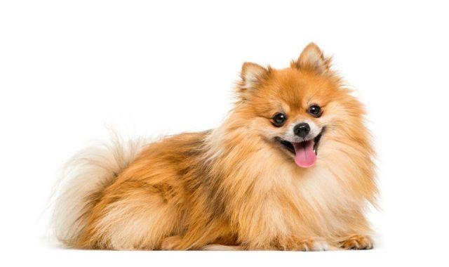 Pomeranian, malá psí plemena