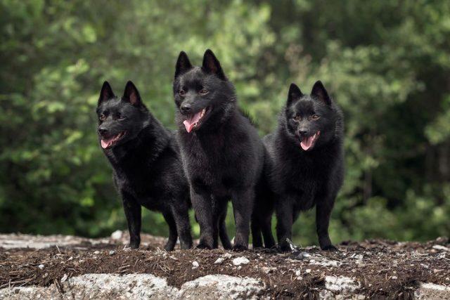 siperka, malá psí plemena