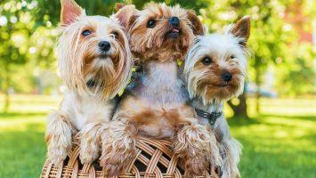 Yorkshírský terier, malá psí plemena
