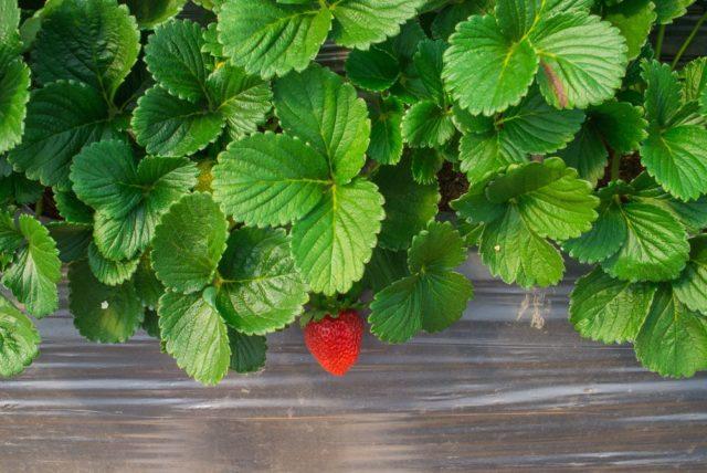 Listy jahodníku