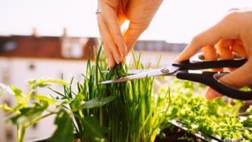 Pěstování pažitky