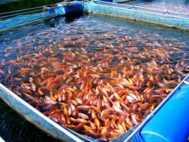 Rybí farma tilapie