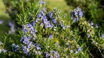 Rozmarýn Salvia rosmarinus
