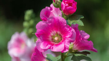 Topolovka slézová růže